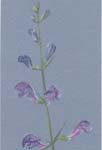 drawing of skullcap flowers